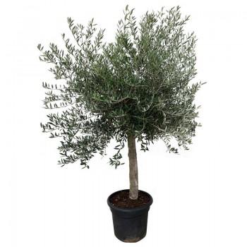 Olea europaea Old Tree