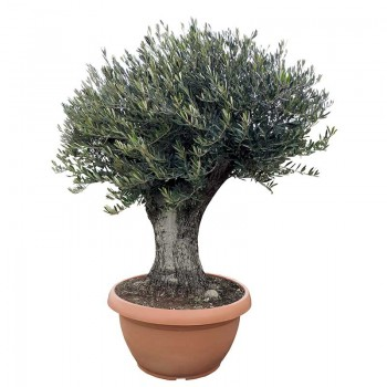 Olea europaea Schale branched trunk