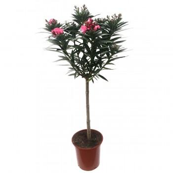 Nerium oleander Tige
