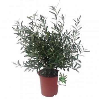 Olea europaea Arbusto